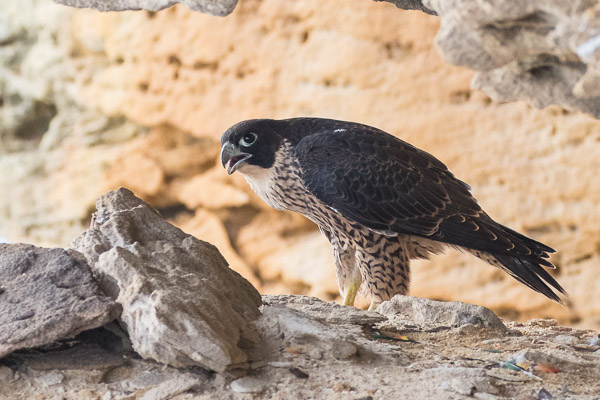 Falcons and Caracaras - Falconiformes