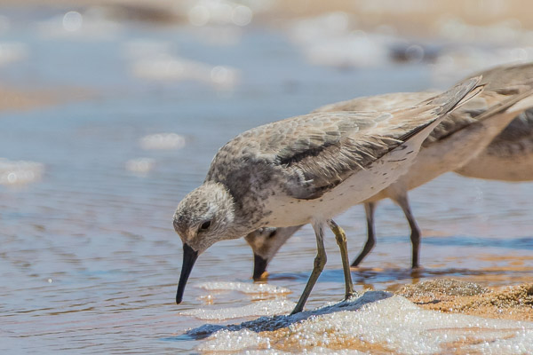 Shorebirds and Gulls - Charadriiformes