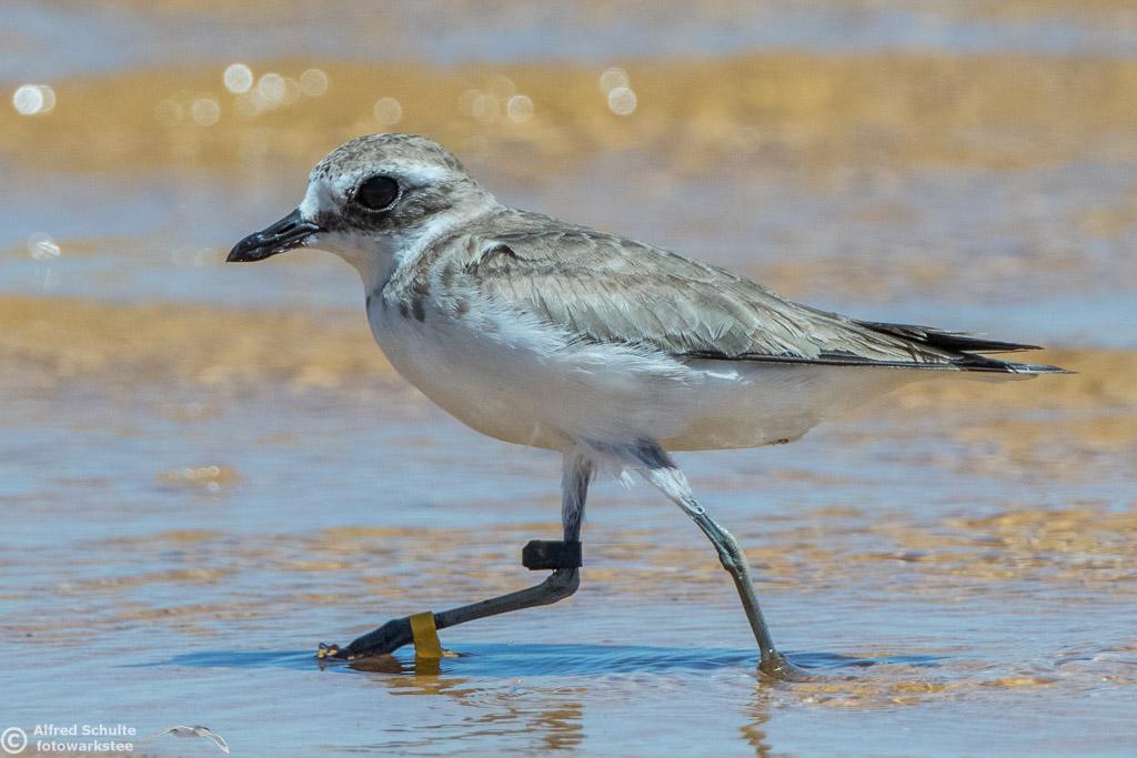 Lesser Sandplover